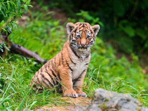老虎是什么意思_周公解梦梦见被老虎追是什么意思 做梦梦到被老虎追代表什么 ...