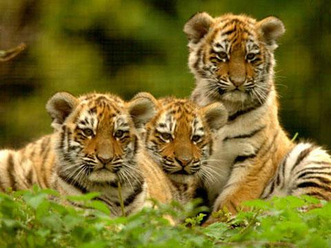 老虎是什么意思_周公解梦梦见小老虎是什么意思 做梦梦到小老虎代表什么_起名网
