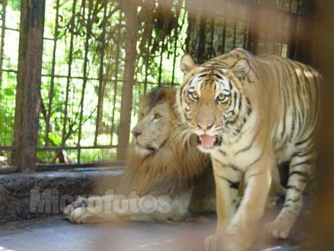 老虎是什么意思_周公解梦梦见狮子老虎是什么意思 做梦梦到狮子老虎代表什么 ...