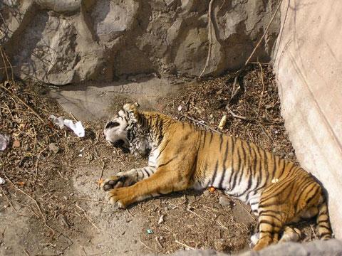 老虎是什么意思_周公解梦梦见打死老虎是什么意思 做梦梦到打死老虎代表什么 ...