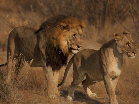 老虎是什么意思_周公解梦梦见老虎狮子是什么意思 做梦梦到老虎狮子代表什么 ...