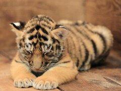 老虎是什么意思_做梦梦见动物-周公解梦梦见动物解释_起名网