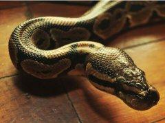 周公解梦怀孕梦见被蛇咬是什么意思
