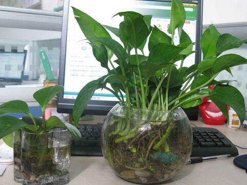 办公桌植物摆放风水 植物摆放的风水