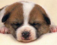宠物取名:茶杯犬该如何取名