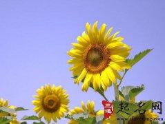 周公解梦梦见向日葵花是什么意思
