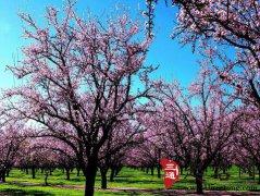 周公解梦梦见樱花是什么意思