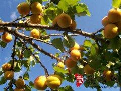 周公解梦梦见杏树是什么意思
