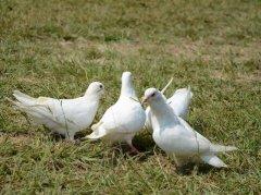 周公解梦梦见鸽子是什么意思