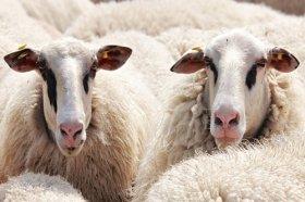 1979年属羊人会离婚吗,感情专一不易离婚