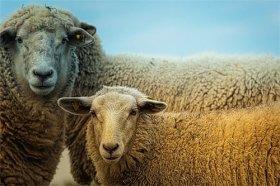 79年属羊与属猪相配好吗,乃三合之作