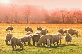 属羊人与哪个生肖相冲,与属牛易起争执