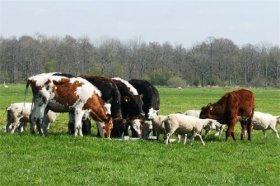 1985年属牛和1991年属羊婚配,属相相冲矛盾多