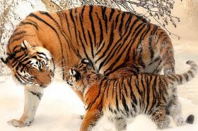 属虎的适合戴什么生肖,兔、羊、鸡